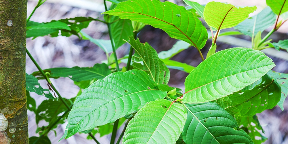 The kratom tree, a member of the coffee family and traditional herbal medicine from South East Asia