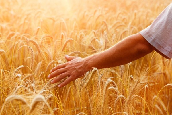Reasons Why Wheat is Bad For Humans